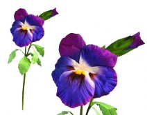 Pensée violette sur tige