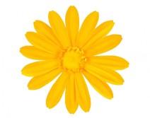 Tête de Gerbera jaune