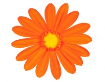 Tête de Gerbera orange