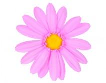 Tête de Gerbera rose